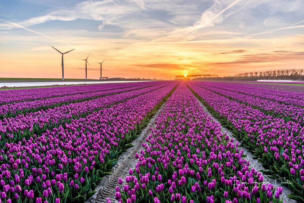 Zonsondergang tulpen