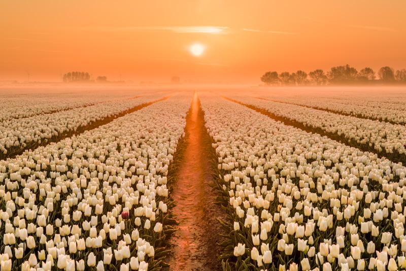 Nummer 8 - ochtendmist tussen de tulpen tijdens zonsopkomst